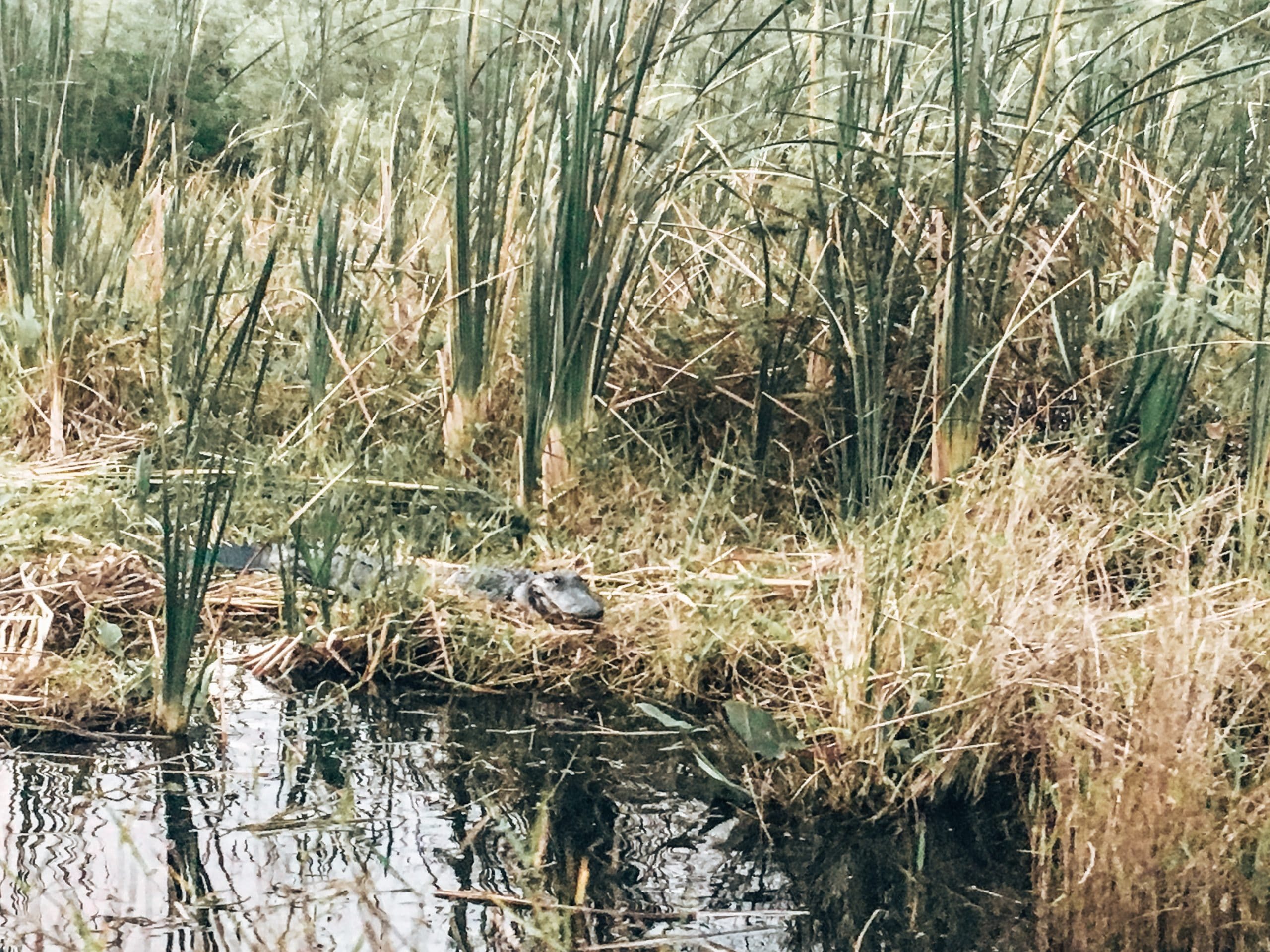 Alligator lying down in the Everglades