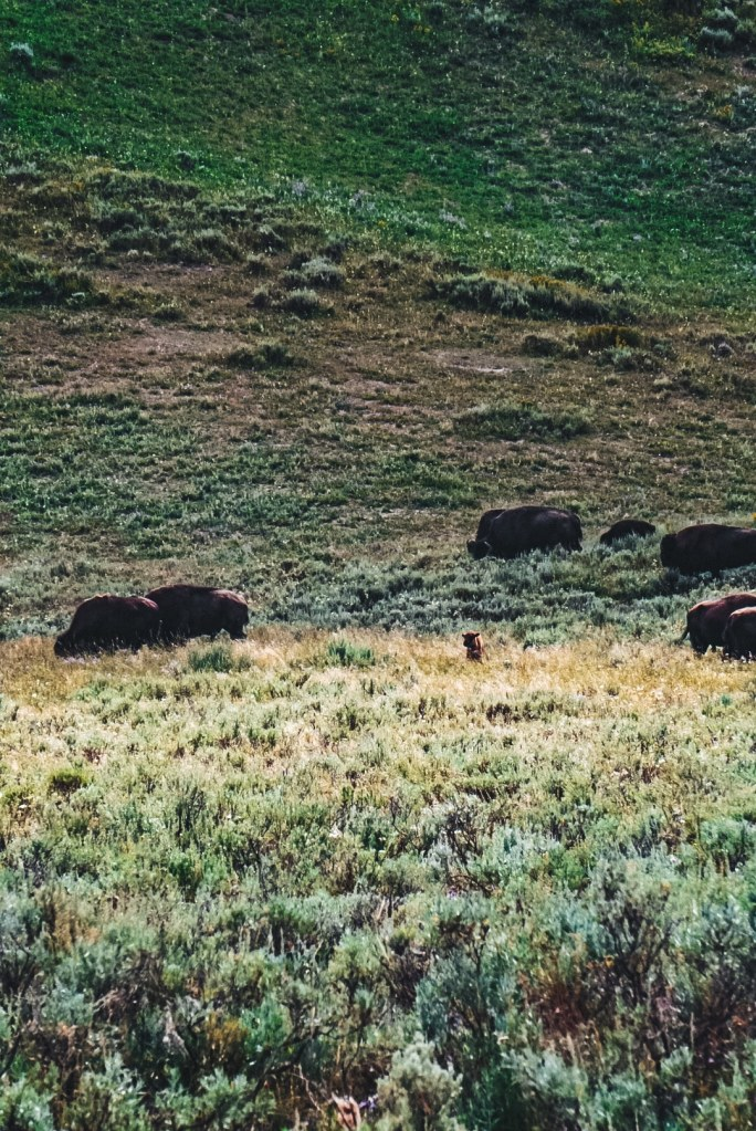 Baby bison surrounded by rest of herd