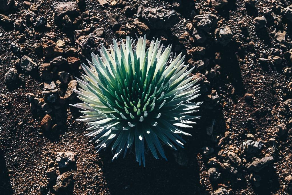 Close up shot of the Haleakala Silversword plant