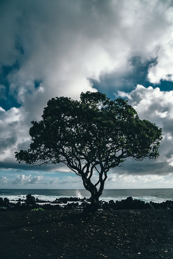 Large tree sprouted from the black volcanic rock near the coastline with the ocean in the background
