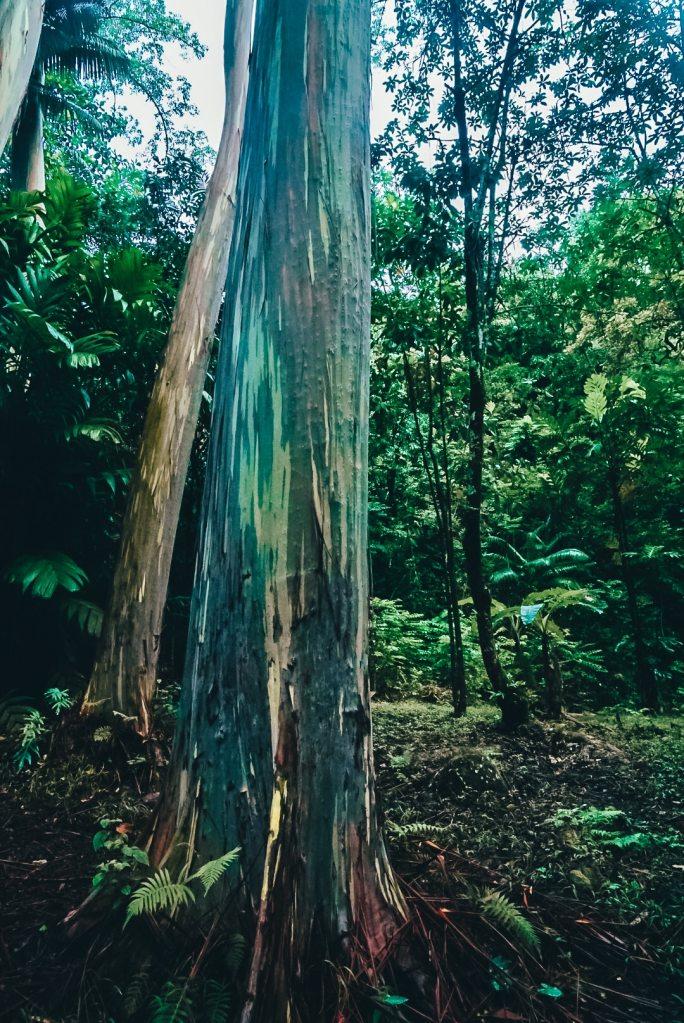 Close up shot of a Rainbow Eucalyptus tree along the Road to Hana