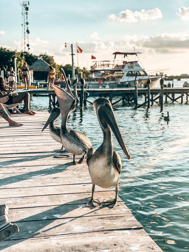 Multiple pelicans standing on the pier in Caye Caulker