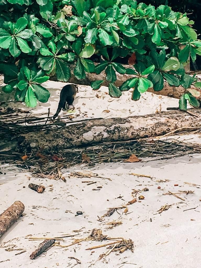 Coati on the beach walking away from the camera