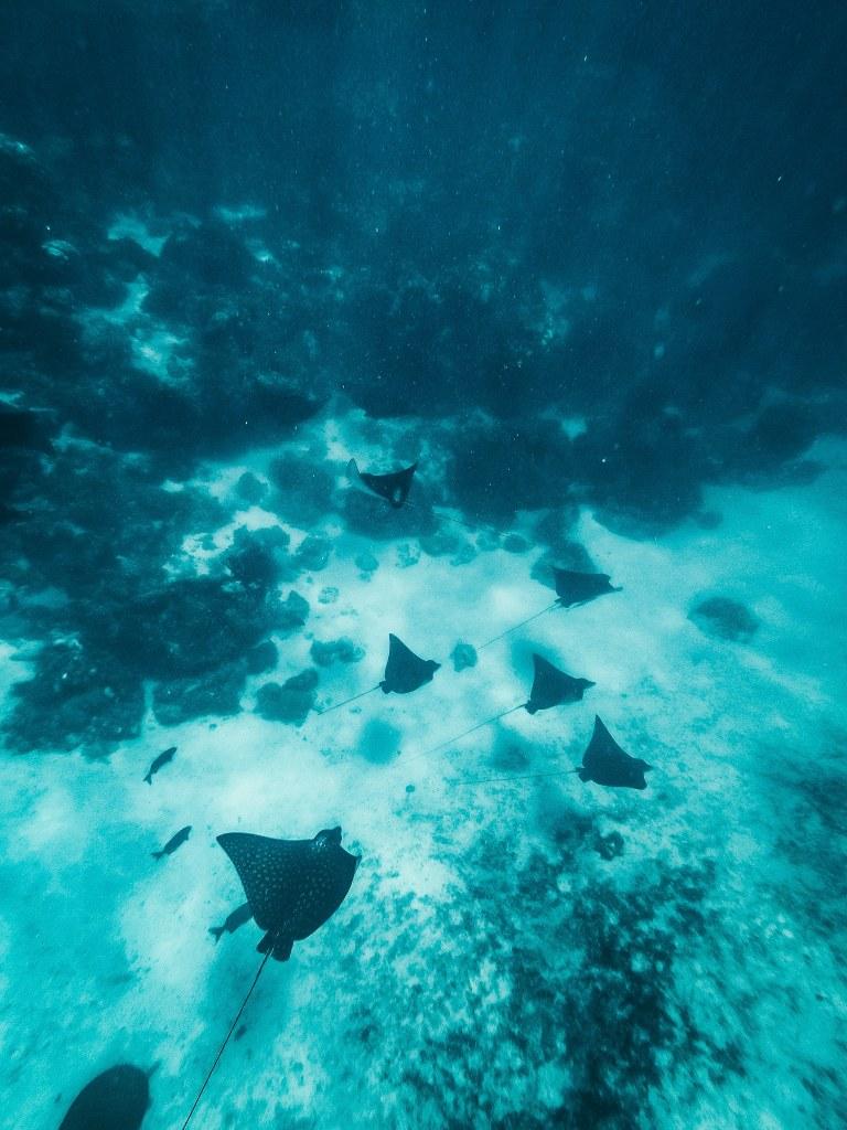 7 eagle rays swimming along the ocean floor