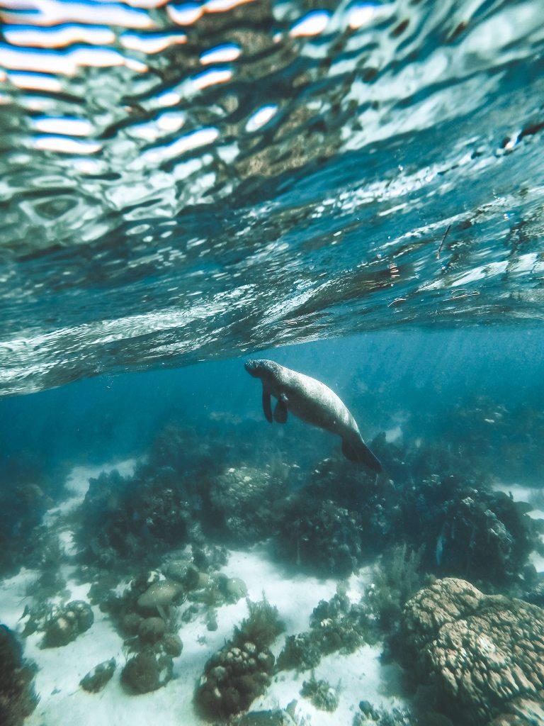 Underwater photo of a manatee