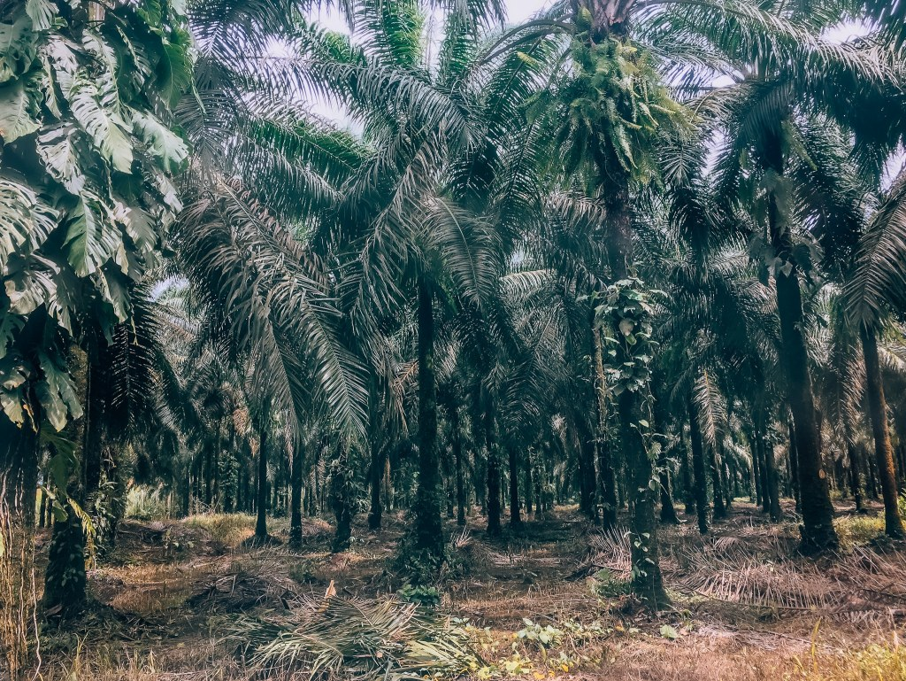 View of a hundreds of trees in a palm tree grove