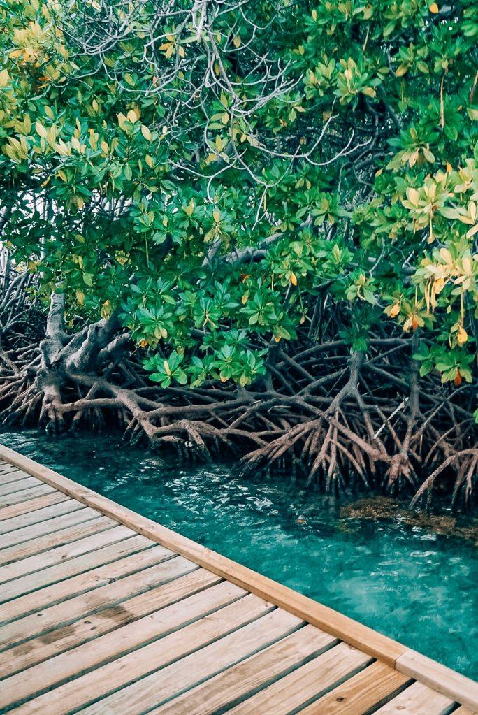 Walkway, shallow water, and mangrove trees near La Parguera