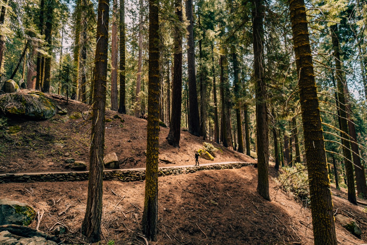 Woman walking through the tall redwood trees in the Giant Tree trail in Sequoia National Park