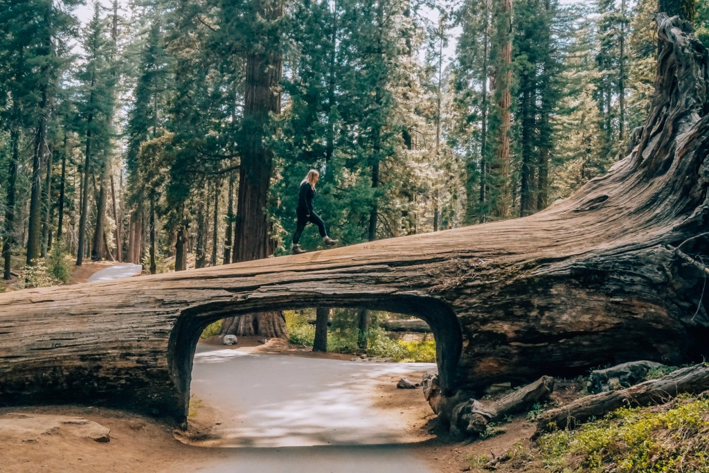 Woman standing atop Tunnel Log in Sequoia National Park