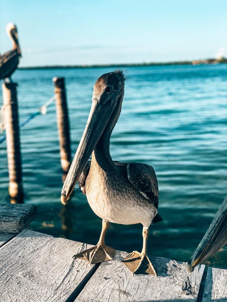 Pelican sitting on a pier