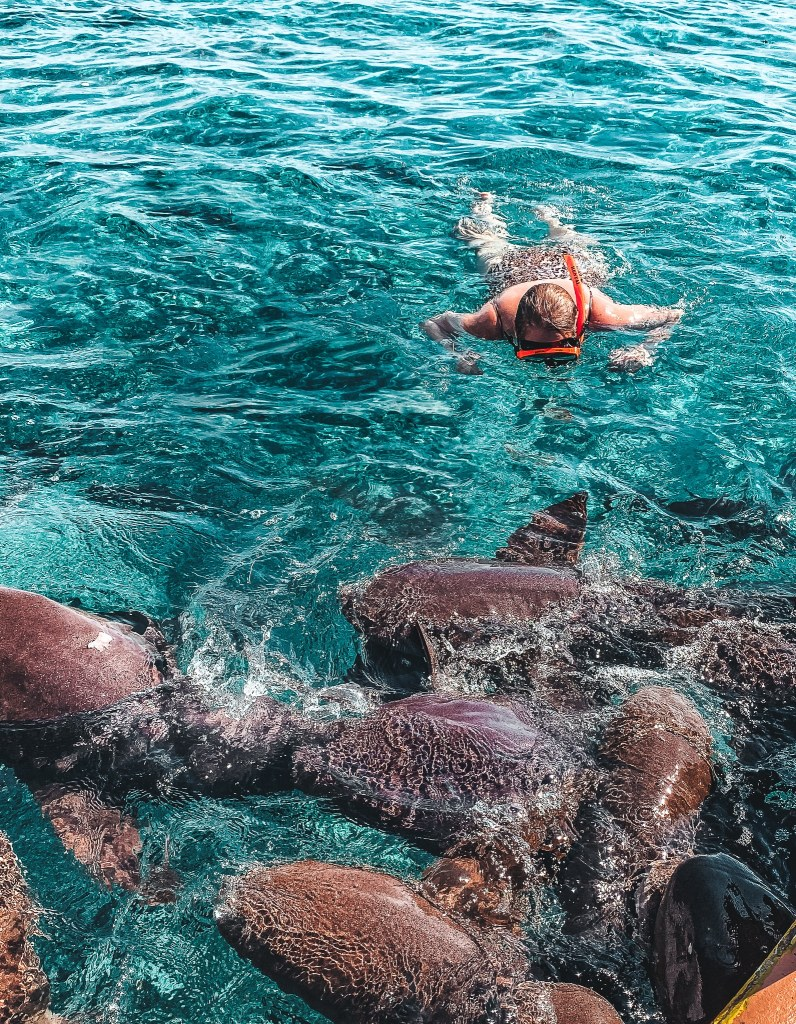 Woman snorkeling next to a dozen sharks in Shark Ray Alley in Belize