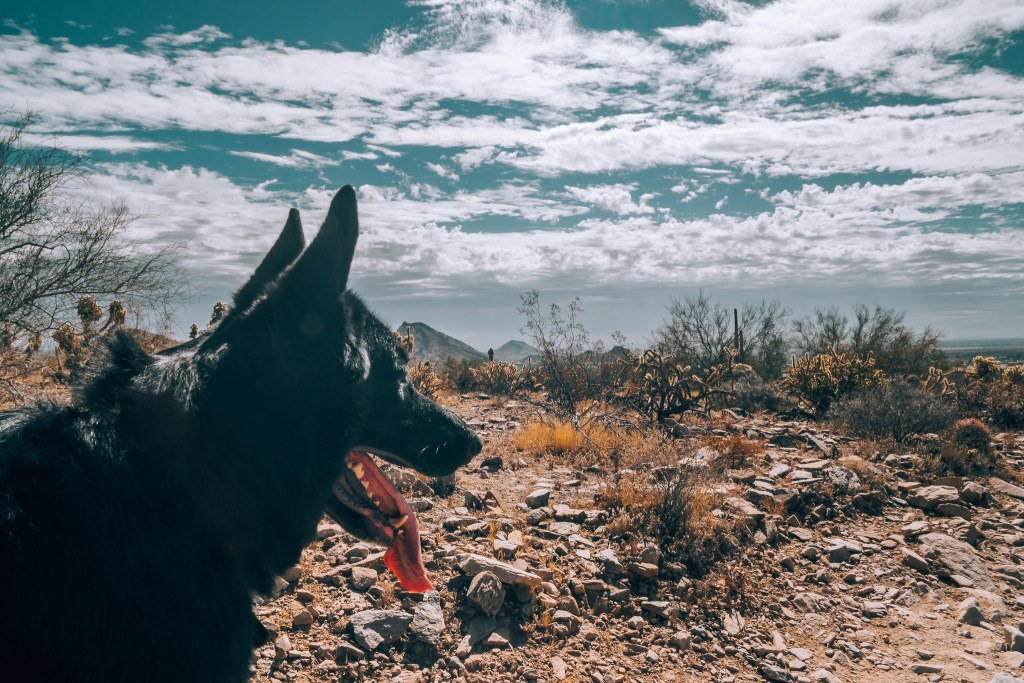 Dog in the middle of a hiking trail in Scottsdale, Arizona, looking out to the mountains and cloudy sky